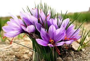 как использовать шафран - Crocus sativus